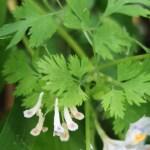 Corydalis incisa f. candida/ Snow incised fumewort/ ユキヤブケマン
