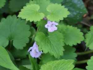 Glechoma hederaceasubsp.grandis/ Ground-ivy/ カキドオシ