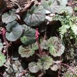 Saxifraga stolonifera/ Strawberry Geranium/ ユキノシタ