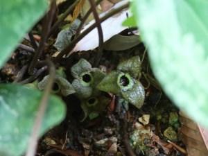 Asarum tamaense/ Wild ginger of Tama hills/ タマノカンアオイ
