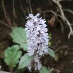 Ajuga nipponensis/ Bugleweed/ ジュウニヒトエ