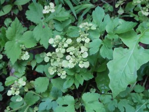 Chrysosplenium japonicum/ Golden saxifrage/ ヤマネコノメソウ
