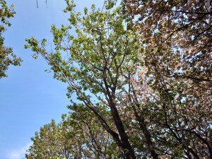 Cerasus serrulata 'Matsumae'/ Cherry var. Matsumae/ マツマエ