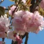 Cerasus serrulata'Beni-demari'/ Cherry var. Beni-demari/ ベニデマリ