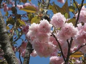 Cerasus serrulata 'Matsumae-koyo'/ Cherry var. Matsumae-koyo/ マツマエコウヨウ