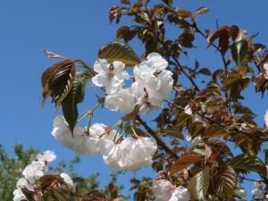 Cerasus serrulata 'Koufuku'/ Cherry var. Koufuku/ コウフク