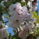 Cerasus serrulata 'Tokyo'/ Cherry var. Tokyo/ トウキョウ