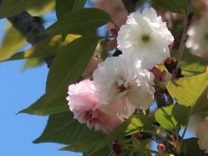 Cerasus serrulata 'Mirabilis'/ Cherry var. Omura zakura/ オオムラザクラ