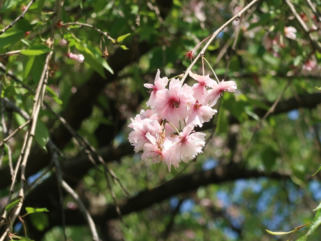 Cerasus spachiana 'Ujou-shidare'/ Cherry var. Ujou-shidare/ ウジョウシダレ