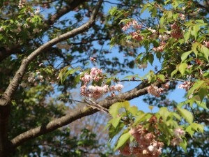 Cerasus'Sasaga-oshidori', Cherry var. Sasaga-oshidori, ササガオシドリ