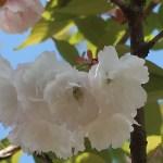 Cerasus serrulata 'Mitsukabizakura/ Cherry var. Mitsukabizakura/ ミッカビザクラ