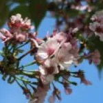 Cerasus 'Aizu-usuzumi'/ Cherry var. Aizu-usuzumi/ アイズウスズミ
