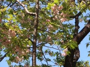 Cerasus serrulata 'Matsumae-kazan-in'/ Cherry var. Matsumae-kazan-in/ マツマエカザンイン