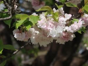 Cerasus serrulata 'Ranran'/ Cherry var. Ranran/ ランラン