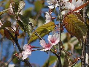 Cerasus matuurae/ Cherry variety Taihei/ タイヘイザクラ
