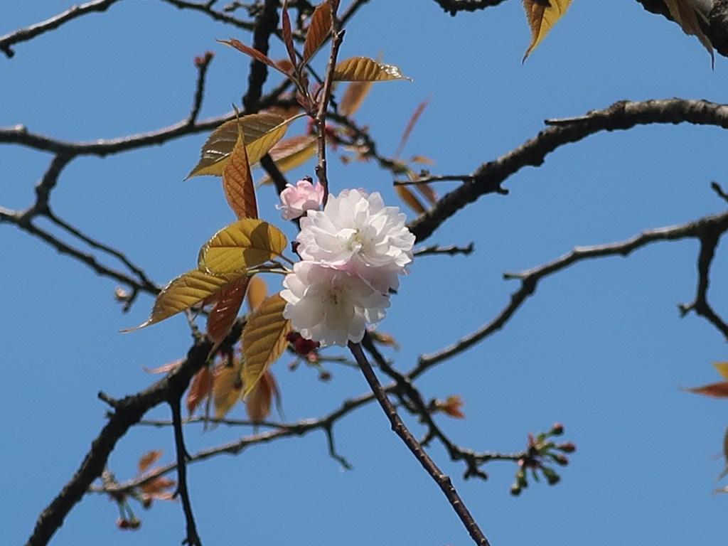 Cerasus leveilleana'Antiqua'/ Cherry var. Nara-no-Yaezakura/ ナラノヤエザクラ