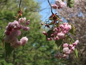 Cerasus jamasakura 'Takamatsuchigo'/ Cherry var. Takamatsuchigo/ タカマツチゴ