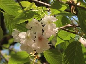 Cerasus speciosa 'Kobanayae-ohshima'/ Cherry var. Kobanayae-ohshima/ コバナヤエオオシマ
