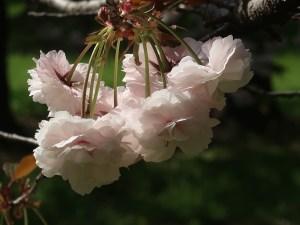 Cerasus serrulata'Kusimana'/ Cherry var. Kusima/ クシマザクラ