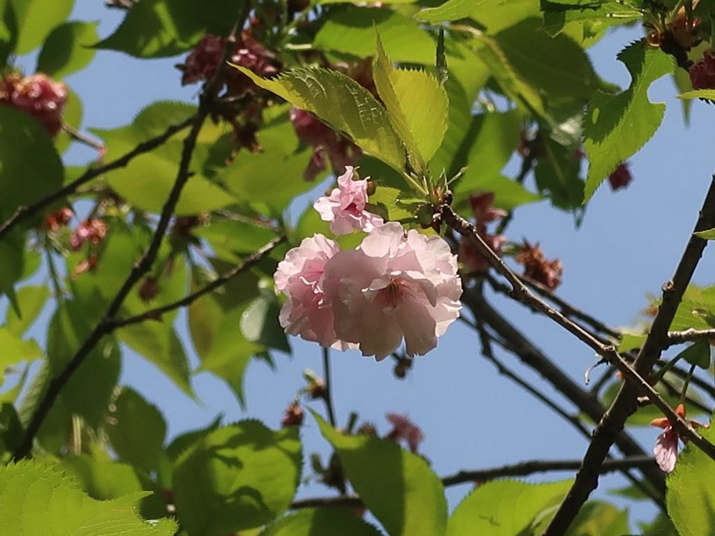 Cerasus serrulata'Akatsukinaden'/ Cherry var. Akatsukinaden/ アカツキナデン