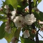 Cerasus serrulata 'Excelsa'/ Cherry var. Banrikou/ バンリコウ