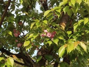Cerasus jamasakura'Hiuchidani-Kikuzakura'/ Cherry var. Hiuchidani-Kikuzakura/ ヒウチダニキクザクラ