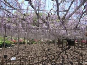 Wisteria floribunda/ Japanese wisteria/ フジ