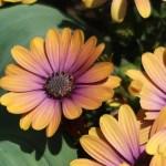 Osteospermum/ Daisybushes/ オステオスペルマム