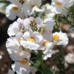 Nemesia caerulea/ Nemesia/ シュッコンネメシア