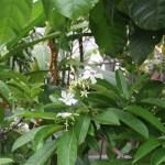 Cerbera manghas/ Sea mango/ ミフクラギ
