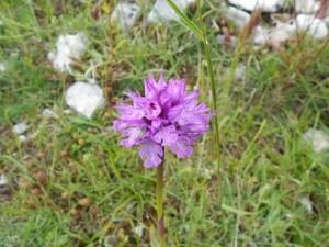 Neotinea tridentata/ Three-toothed orchid/ Orchidea screziata