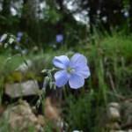 Linum alpinum/ Alpine flax/ リヌム・アルピヌム