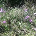 Anemone hortensis/ Broad-leaved anemone/ アネモネ・ホルテンシス