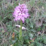 Orchis simia(?)/ Monkey orchid/ モンキーオーキッド