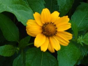Heliopsis scabra/ Orange sunflower/ キクイモモドキ
