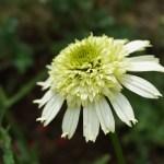 Echinacea/ Coneflowers/ エキナセア