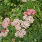 Achillea millefolium/ Common yarrow/ セイヨウノコギリソウ