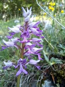 Orchis militaris/ Military orchid/ オルキス・ミリタリス