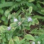 Dichroa febrifuga/ Chinese quinine/ ジョウザン