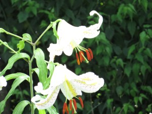Lilium auratum/ Golden rayed lily/ ヤマユリ