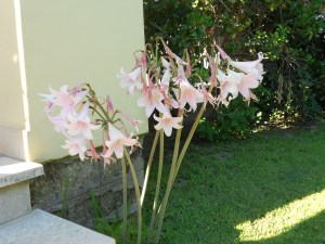 Amaryllis belladonna/ Belladonna-lily/ ホンアマリリス