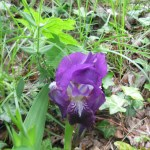Iris germanica/ German Iris/ ジャーマンアイリス