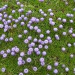Globularia meridionalis/ Globe daisy/ グロブラリア