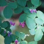 Lespedeza bicolor/ Bush clover/ ハギ 萩