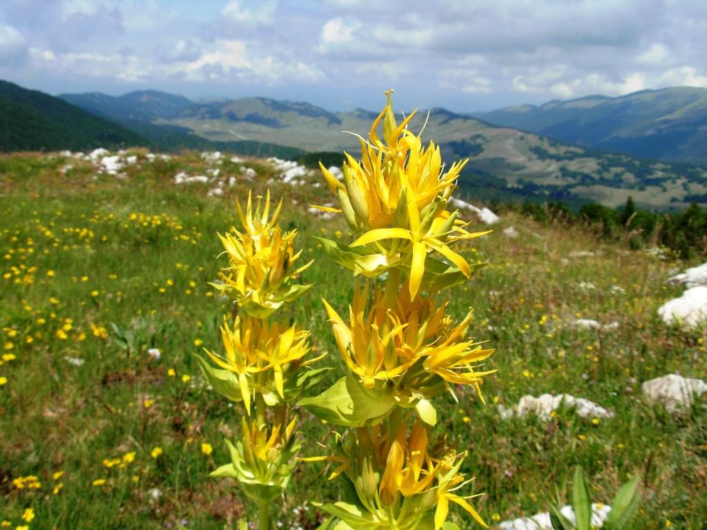 Gentiana lutea/ Great yellow gentian/ ゲンチアナ・ルテア