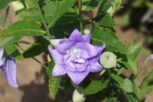 Platycodon grandiflorus/ Balloon flower/ キキョウ