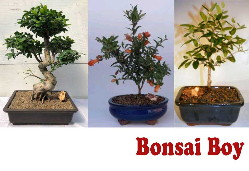 9 Amazing Fruiting Bonsai Trees from Bonsai Boy