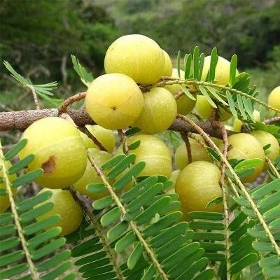 Amla Tree, Indian Gooseberry (Big Fruit, Grown Through Seeds) - Plant