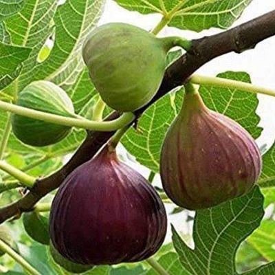 Fig Tree, Anjeer Fruit, Common Fig Fruit - Plant