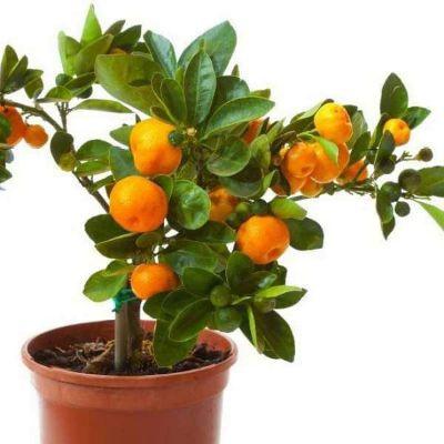 Orange Fruit, Santra ( Grafted ) - Plant